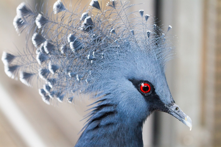 Portrait of a Victoria crowned pigeon