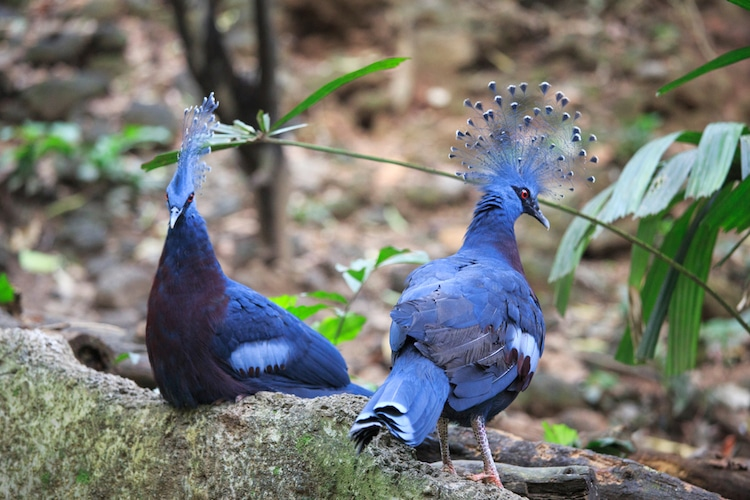 Two Victoria Crowned Pigeons Sitting on a Log