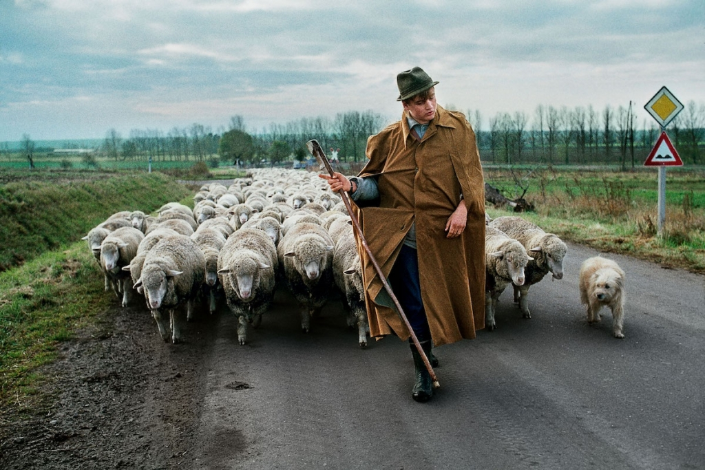 A man walks with a herd of sheep in Germany by Steve McCurry