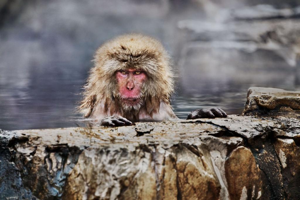 mono de nieve en japón por Steve McCurry