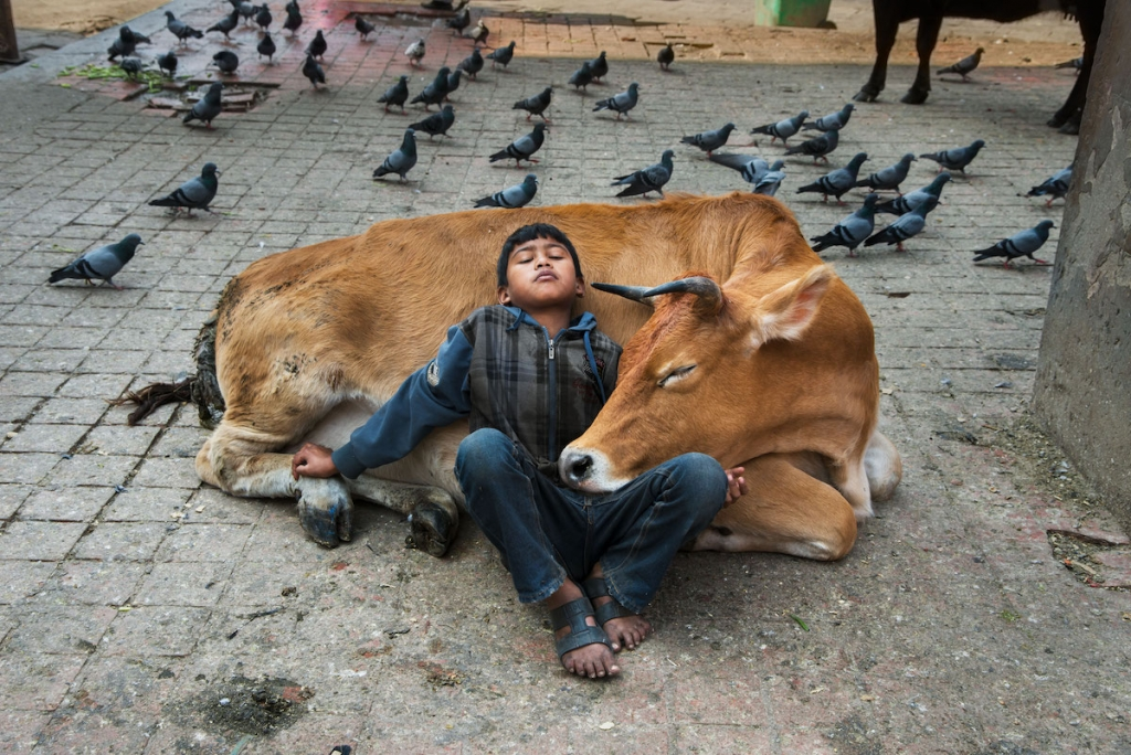 Boy Rests Against a Cow in Kathmandu, Nepal by Steve McCurry