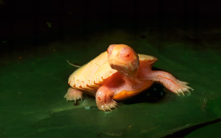 Reptile with Albinism