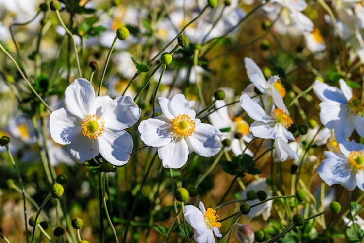 Anémona (flor)
