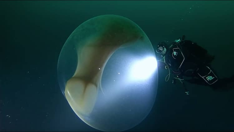 Divers Meet Egg Sac of Baby Squid