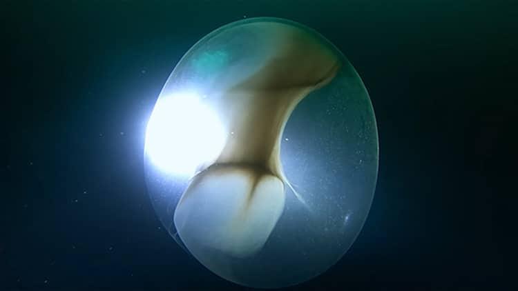 Egg Sac of Baby Squid