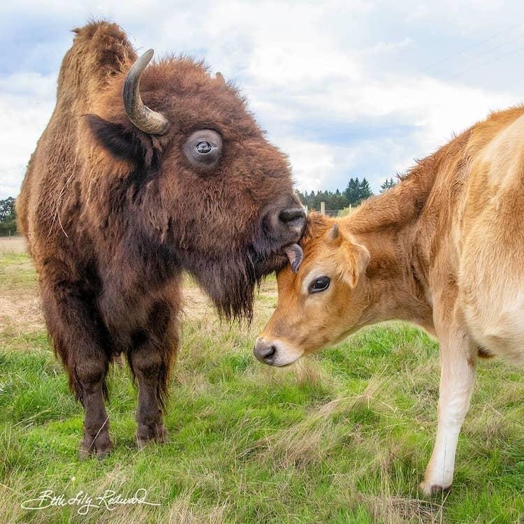 Bisonte y ternero se hacen amigos en Lighthouse Farm Sanctuary