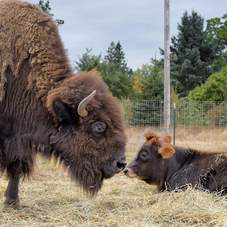 Bison and Calf Friendship Lighthouse Farm Sanctuary