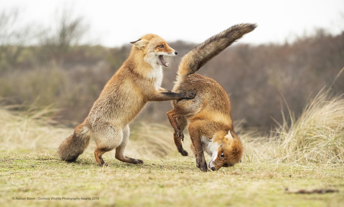 ganadores de Comedy Wildlife Photography Awards 2019