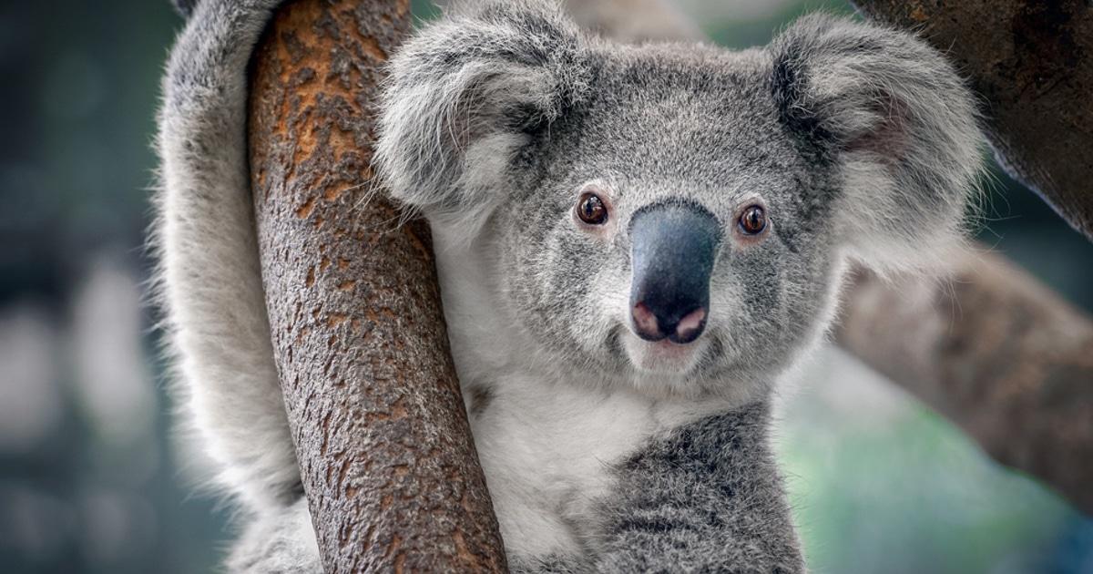 Los koalas pierden el 80% de su hábitat en los incendios de Australia