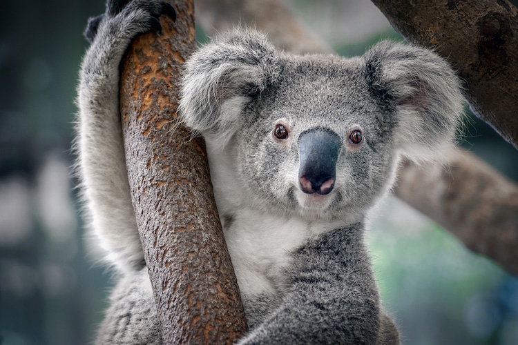 https://mymodernmet.com/wp/wp-content/uploads/2019/11/koalas-habitat-destruction-bushfires.jpg