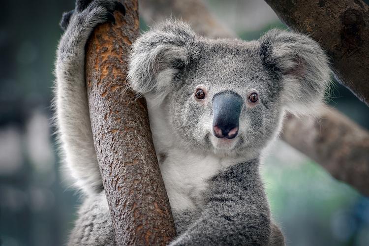 Koalas Functionally Extinct