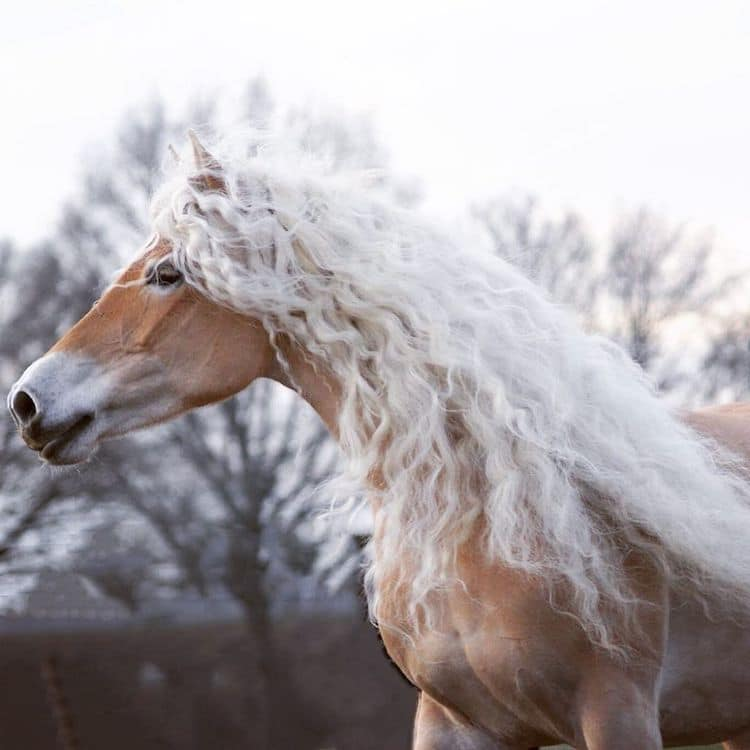 Storm the Haflinger Horse