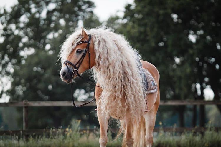 caballo Haflinger