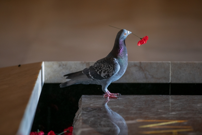Pigeon Builds Nest from Remembrance Poppies