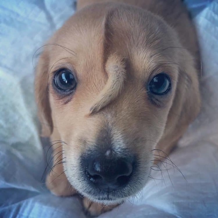 Puppy With a Tail Growing From Its Head