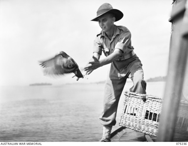Pigeons Used During World War II