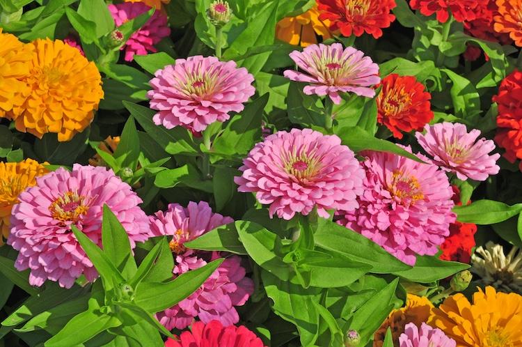 Flores de cinia