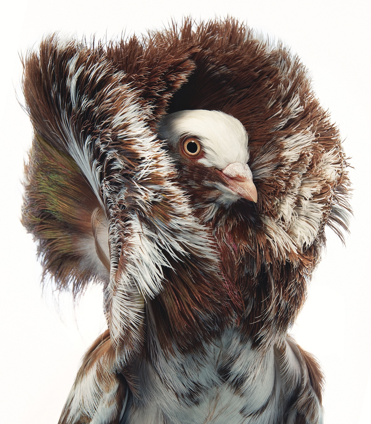 Jacobian Bird Portrait by Tim Flach