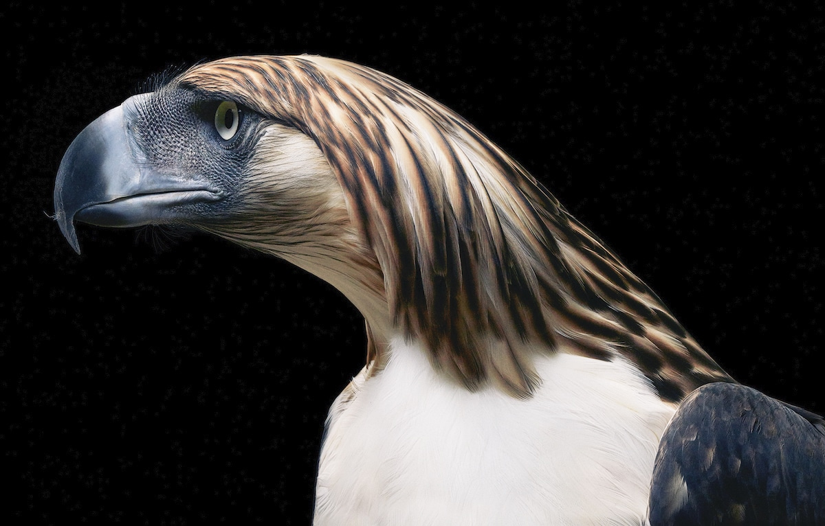 Philippine Eagle by Tim Flach