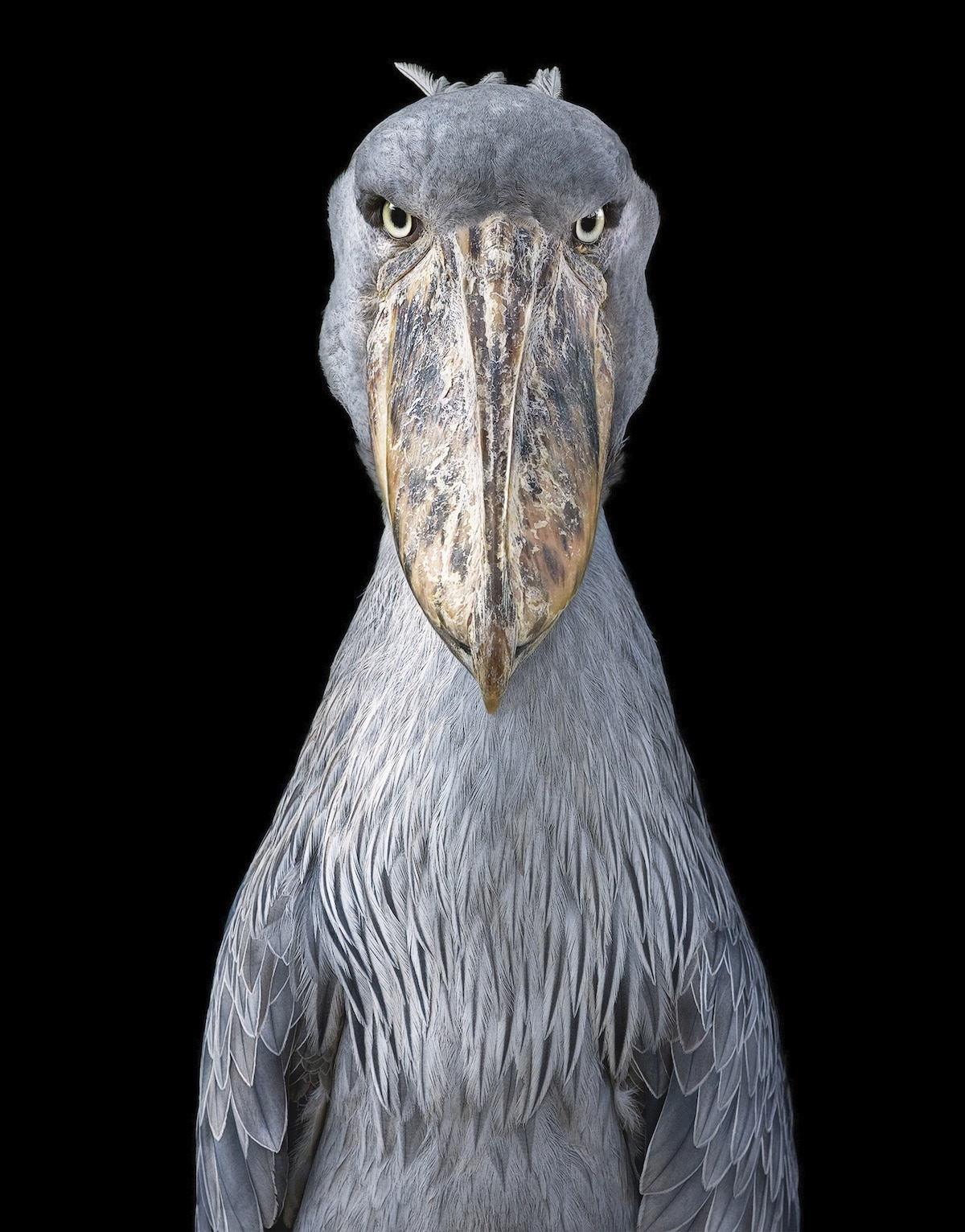 Shoebill by Tim Flach
