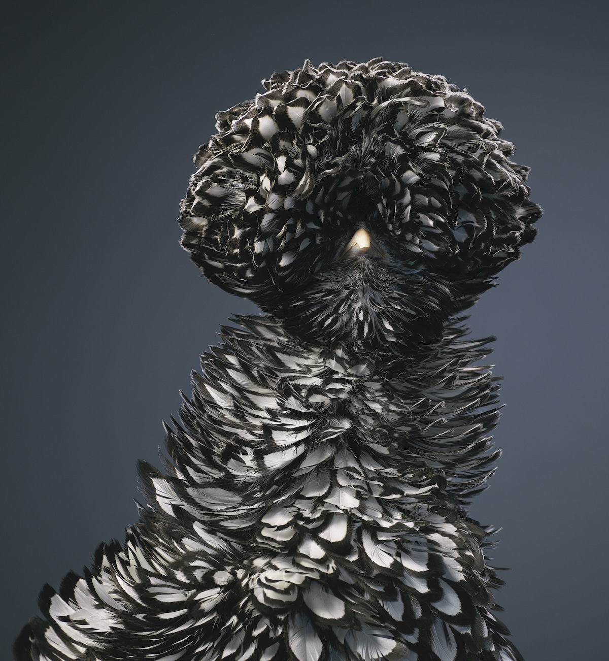Silver Laced Poland by Tim Flach