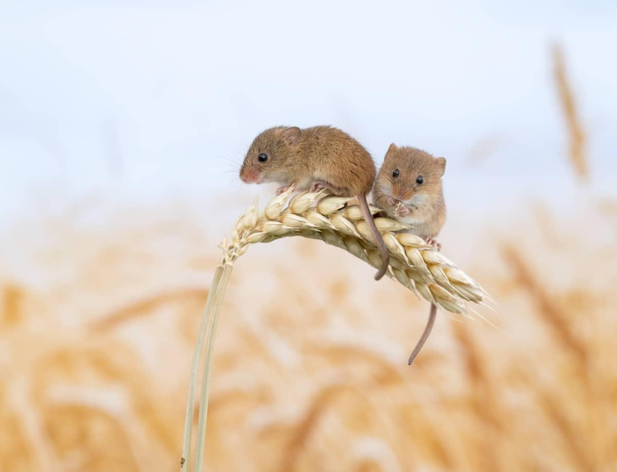 Harvest Mouse Photography by Dean Mason