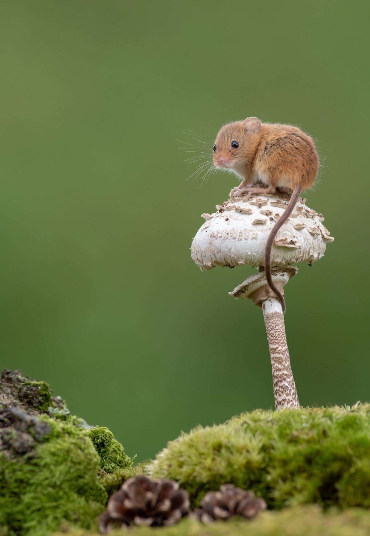 Fotos tiernas de ratones espigueros