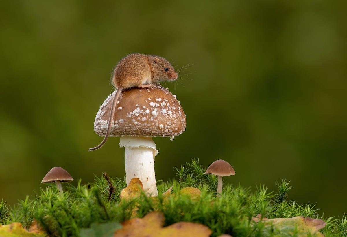 Fotos adorables de ratones espigueros