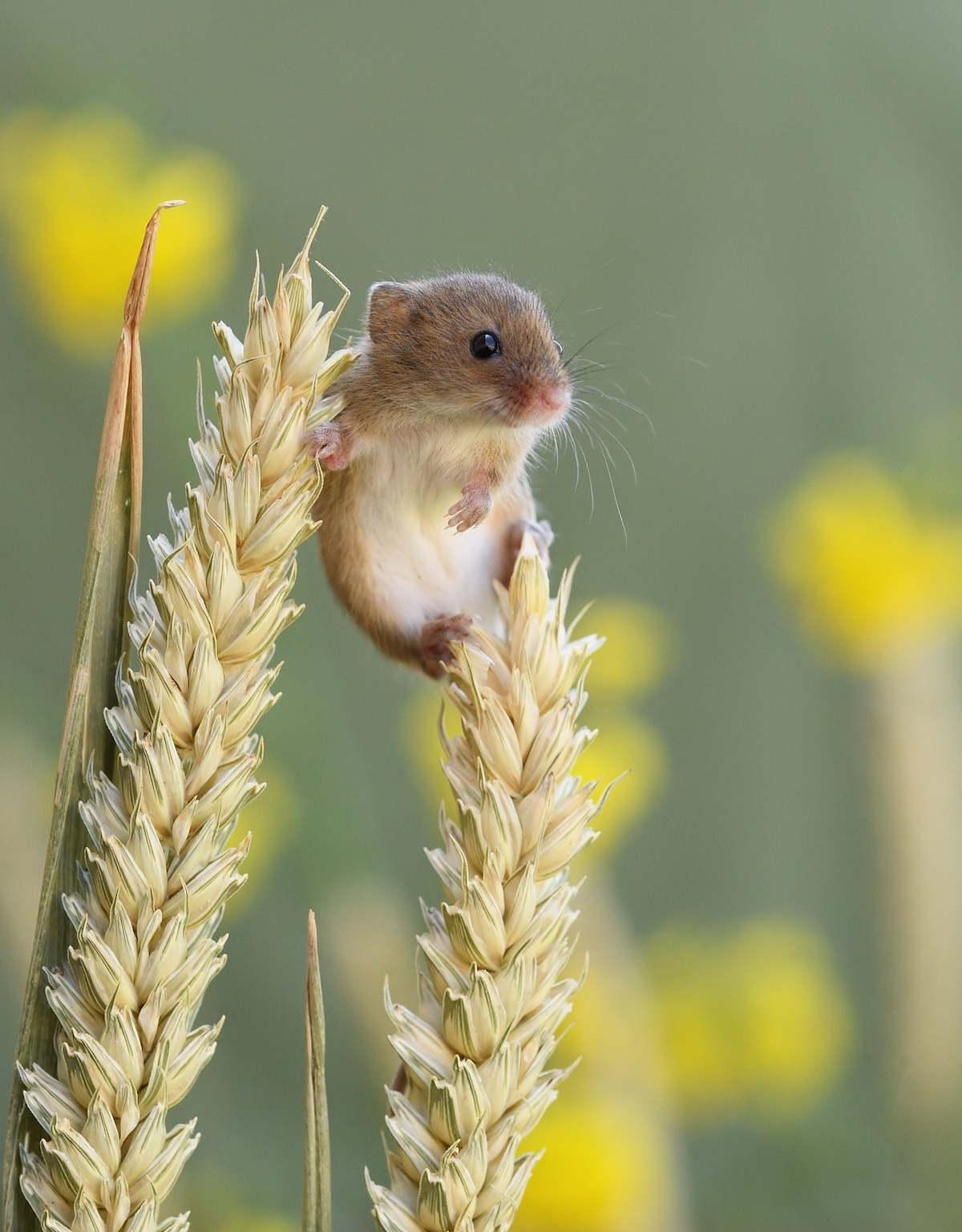Harvest Mouse Balancing on Wheat