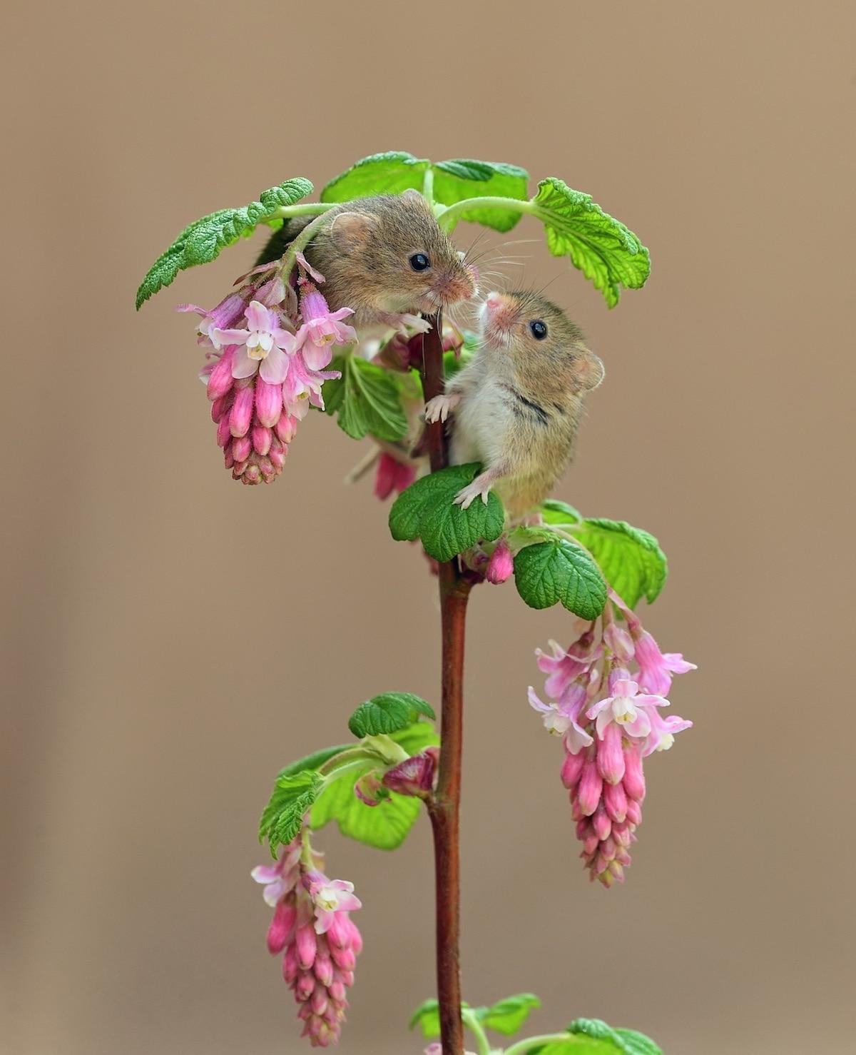 Dos ratones espigueros en una planta