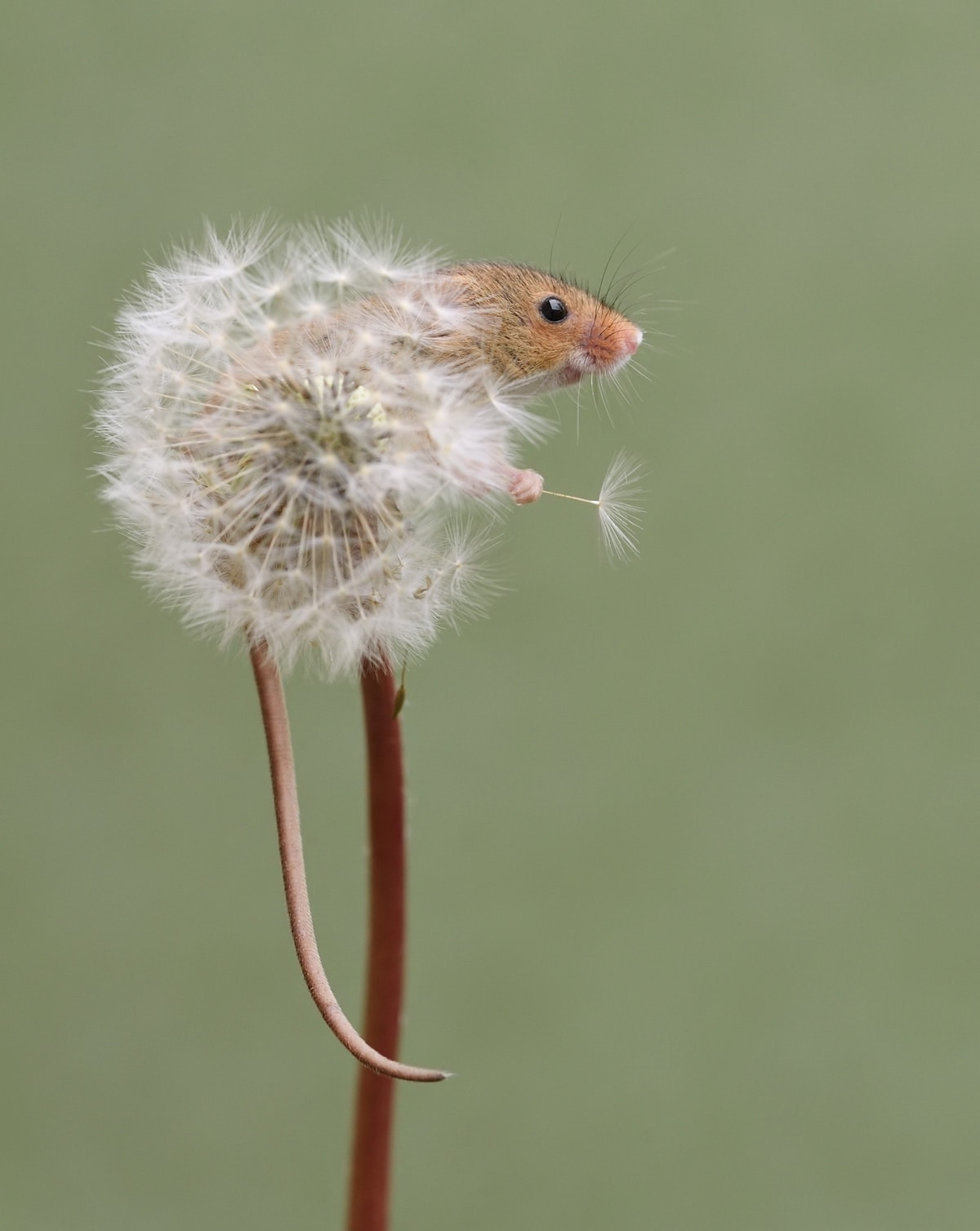 Harvest Mouse in Dandelion by Dean Mason