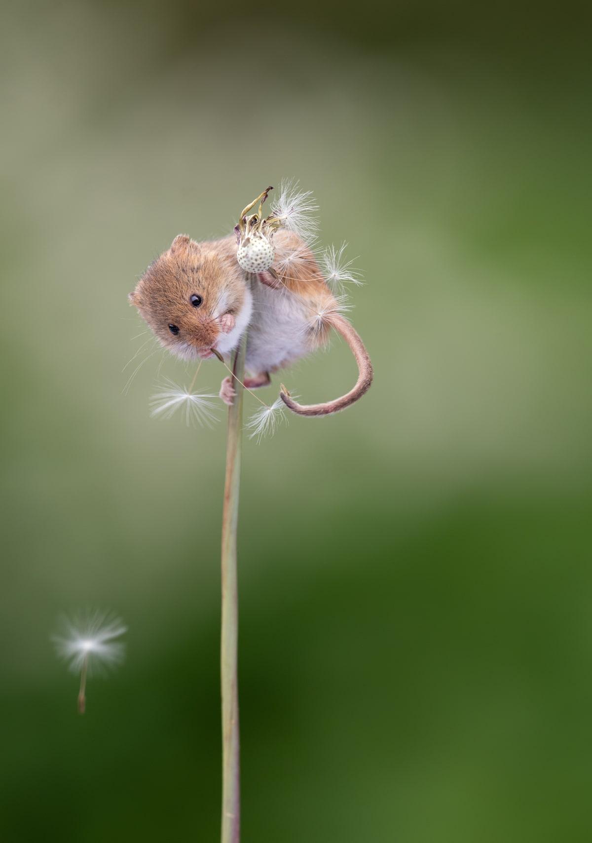 Fotos de ratones espigueros por Dean Mason