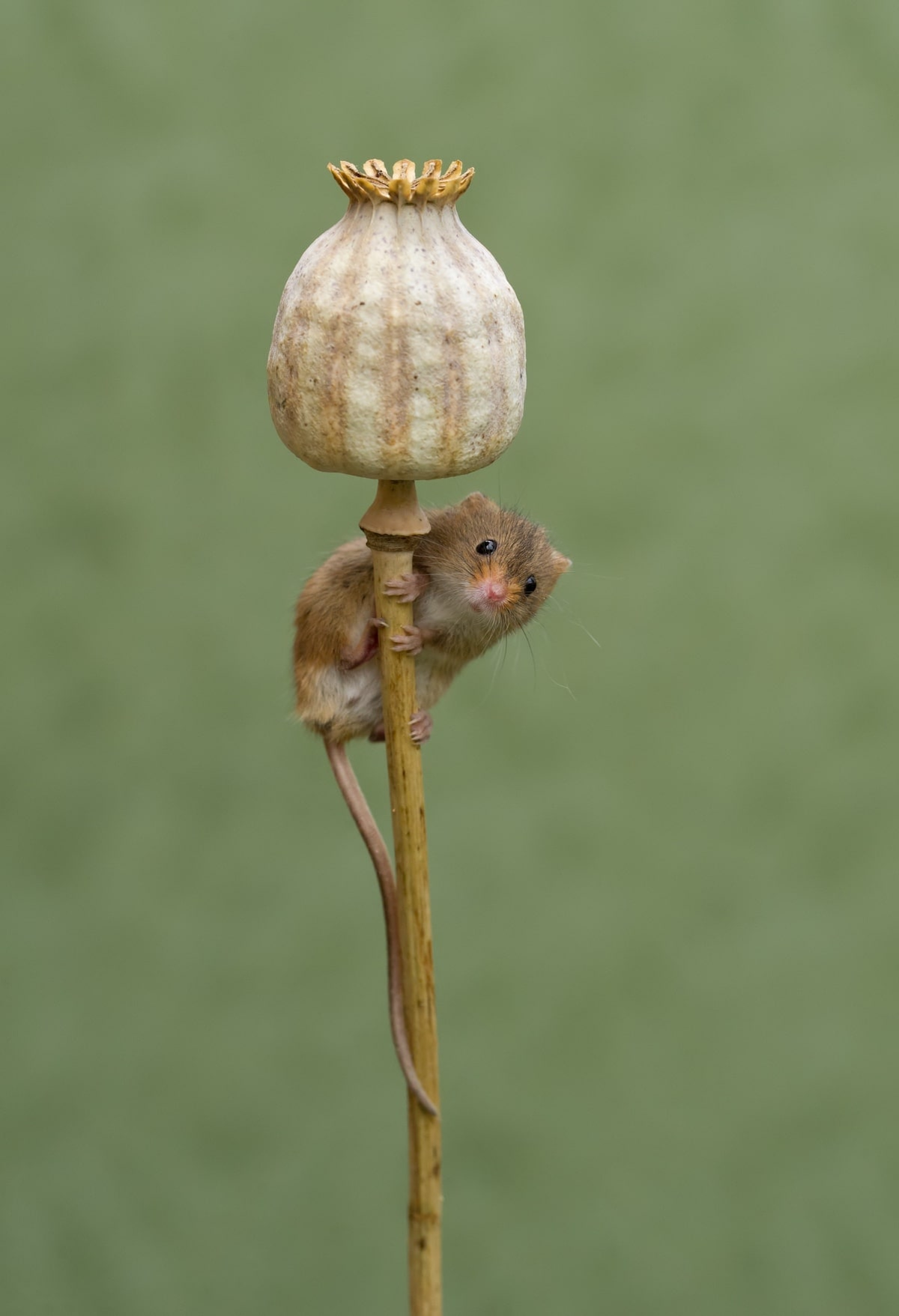 Cute Harvest Mouse Photography