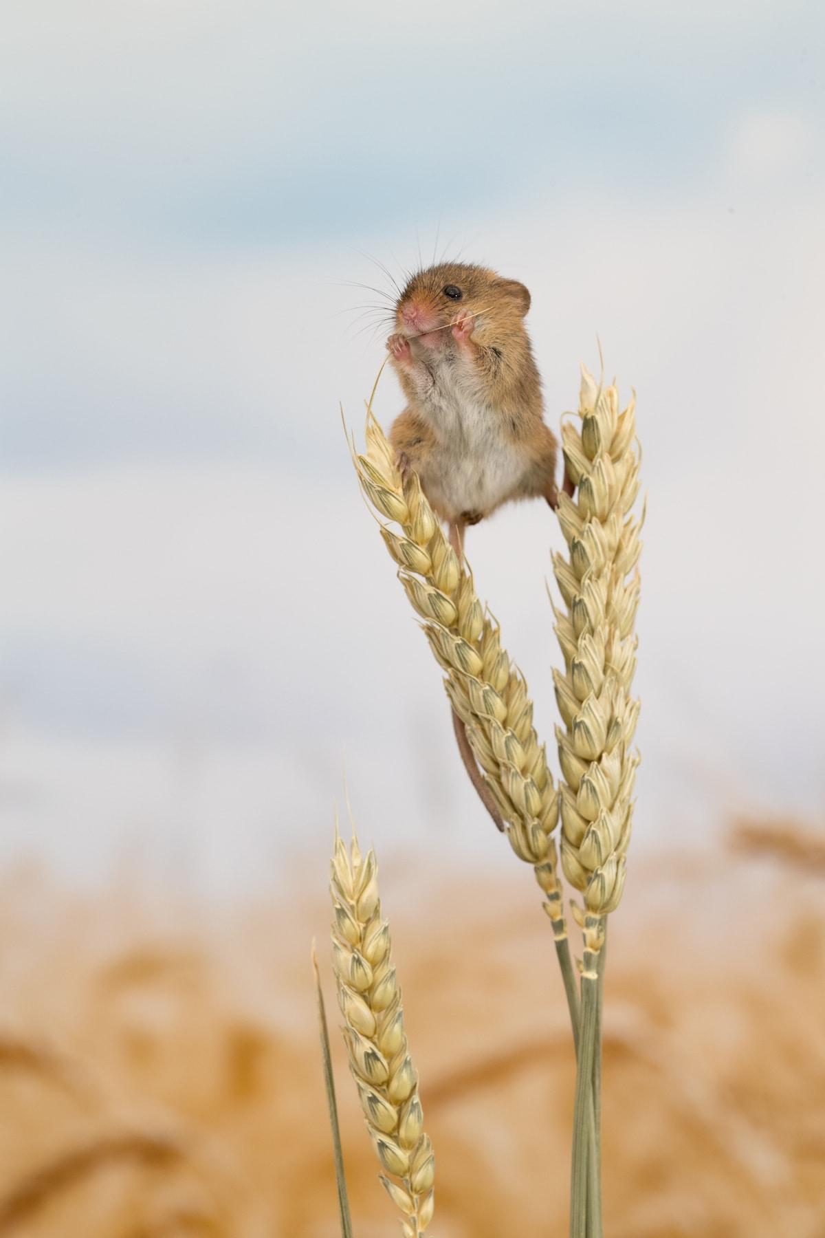 Ratón espiguero