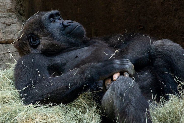 Anaka, a Gorilla with Vitiligo