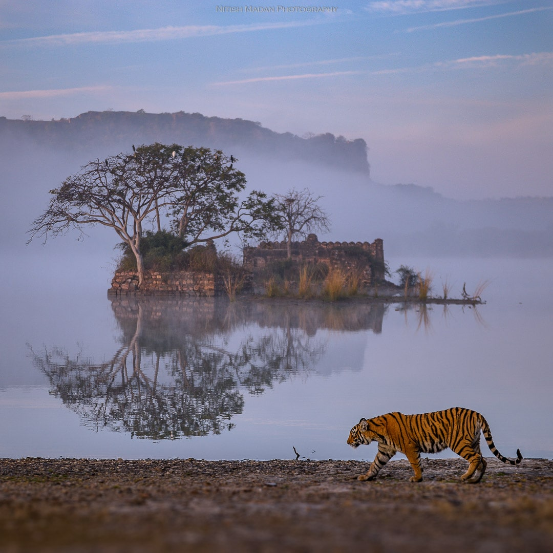 Bengal Tiger in front of Ranthambore Fort
