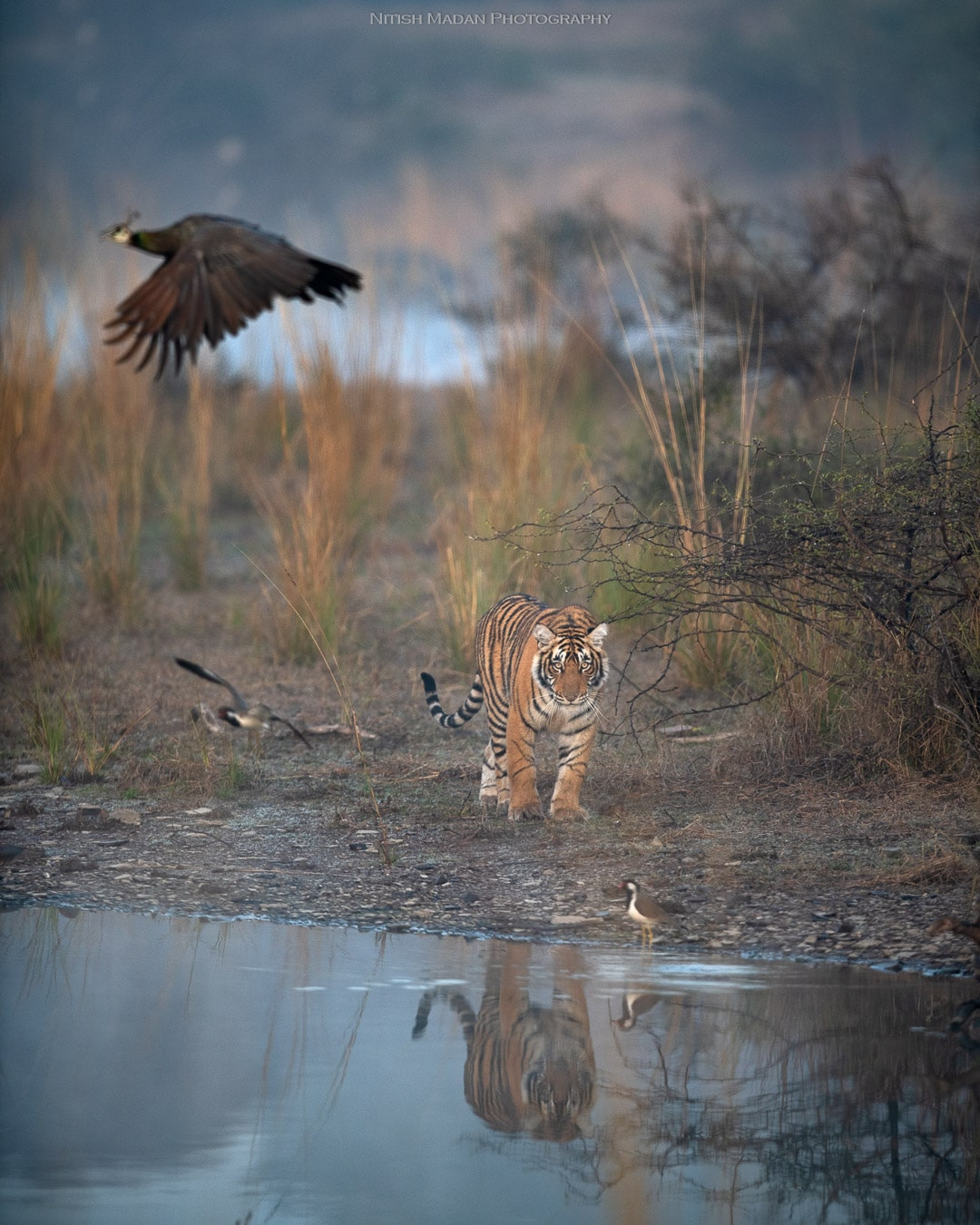 Bengal Tiger at the Ranthambore National Park