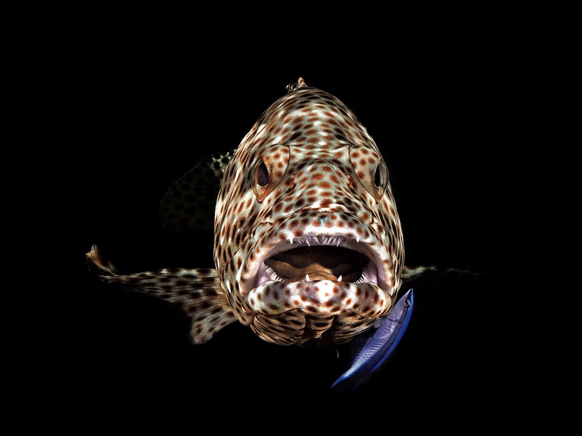 Blackwater Photo of a Grouper