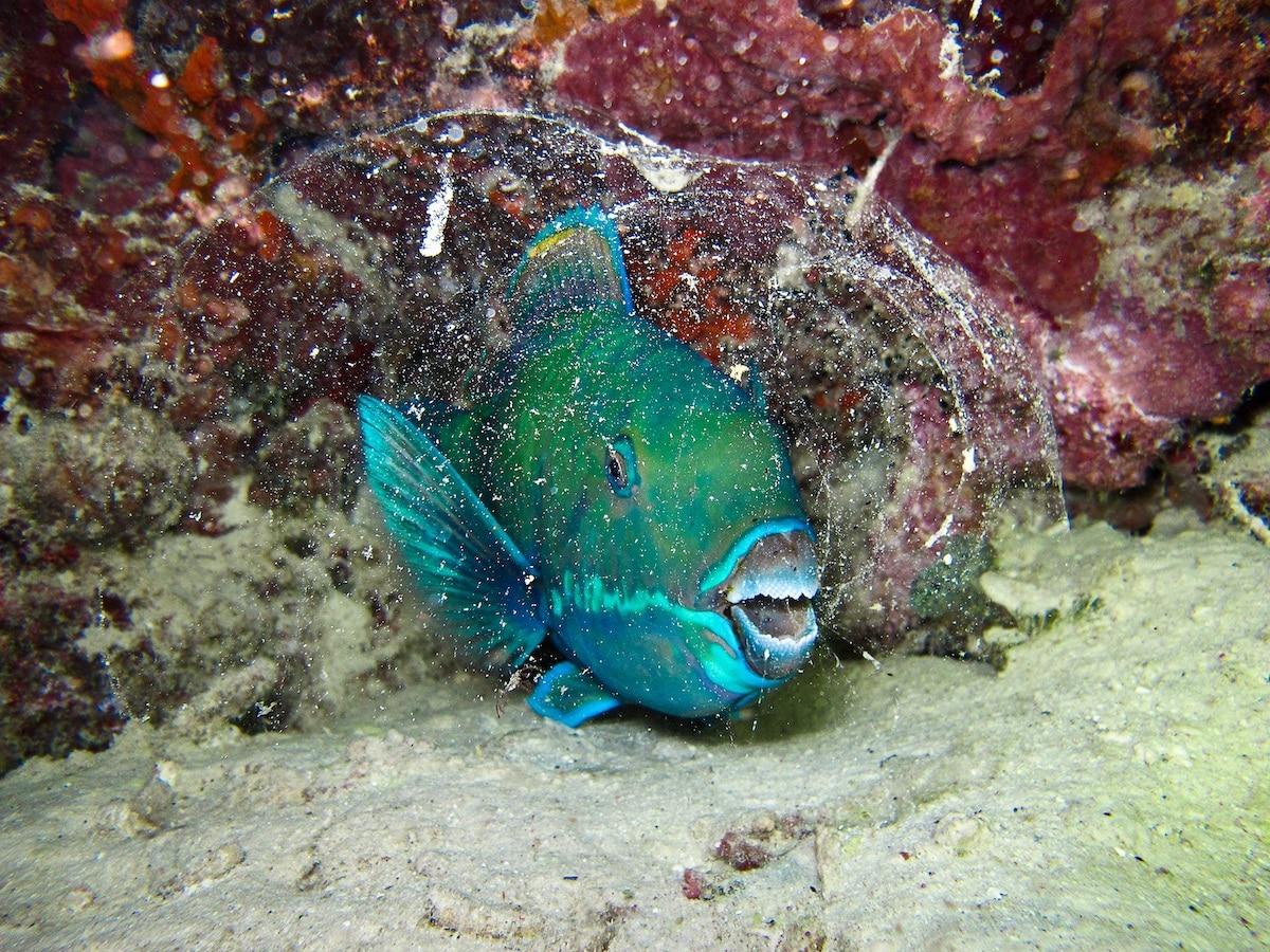 Underwater Portrait of a Parrot Fish