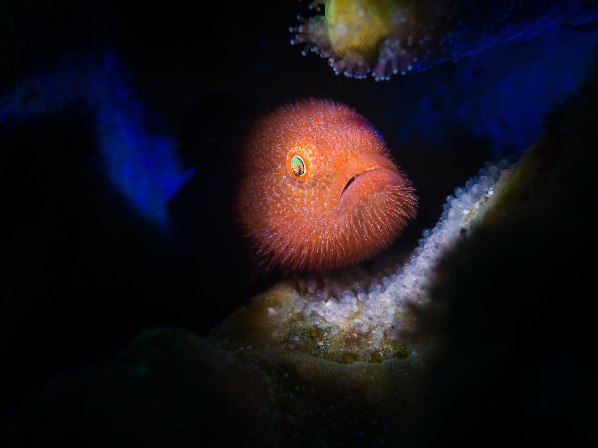 Portrait of Ponda Goby Fish