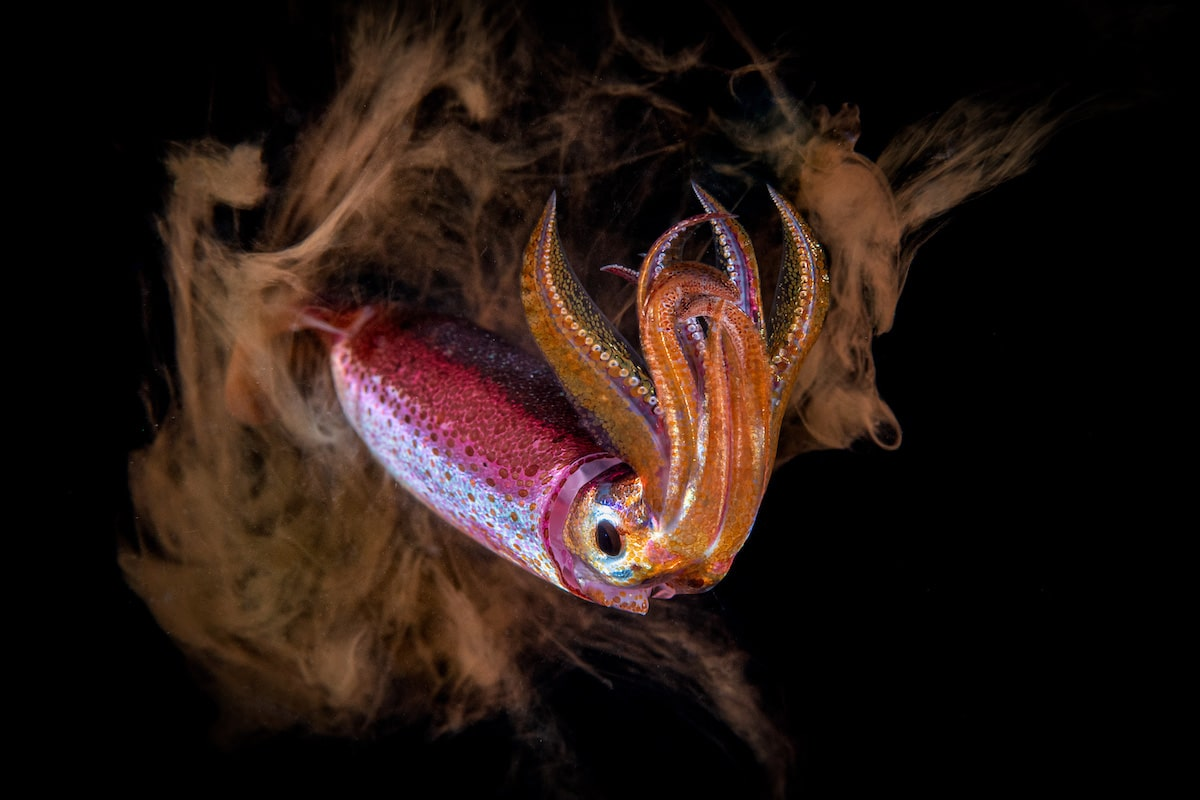 Blackwater Photo of a Squid