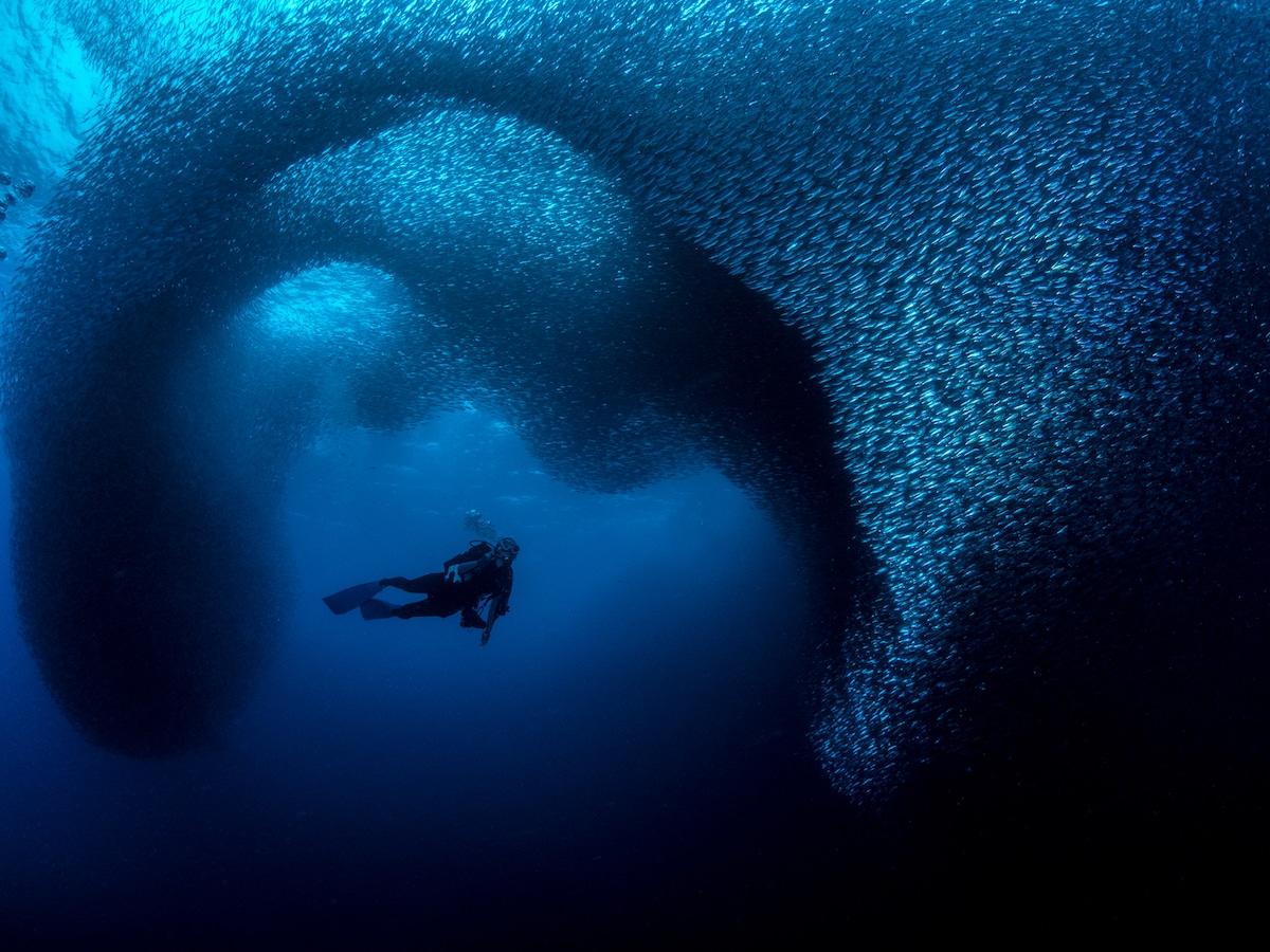 School of Sardines Underwater