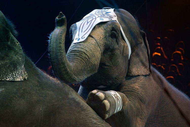 elefantes de circo dinamarca