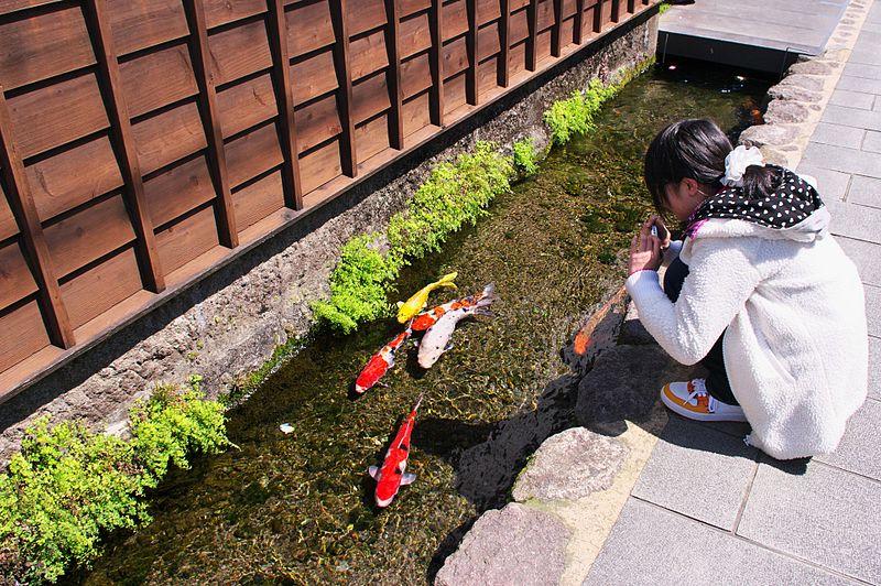 Koi Fish Swim in Drainage Canals Shimabara Japan