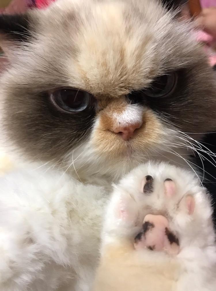 Meow Meow, el nuevo gato enojado de Internet
