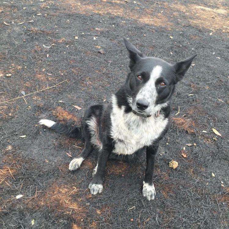 Patsy, el perro maravilla de los incendios en Australia