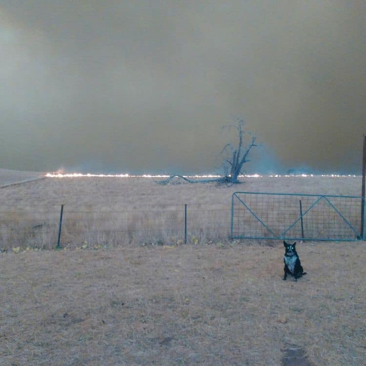 Perros rescata a ovejas en una granja durante los incendios de australia