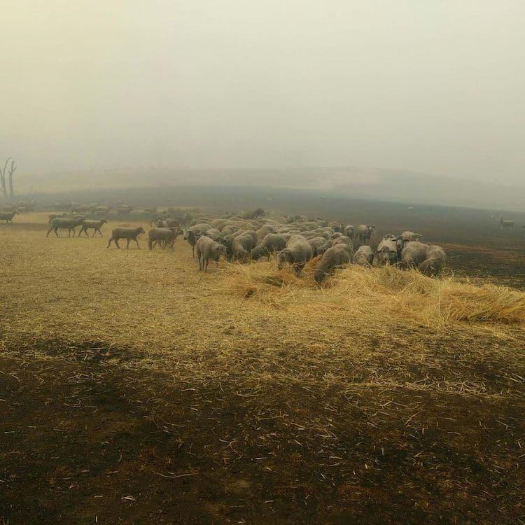 Ovejas rescatadas de los incendios de Australia