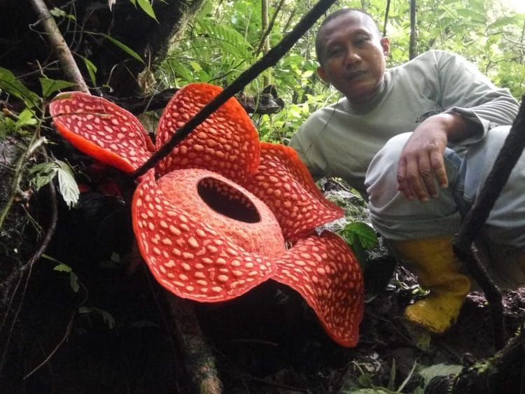 Lagrest Rafflesia Flower in the World