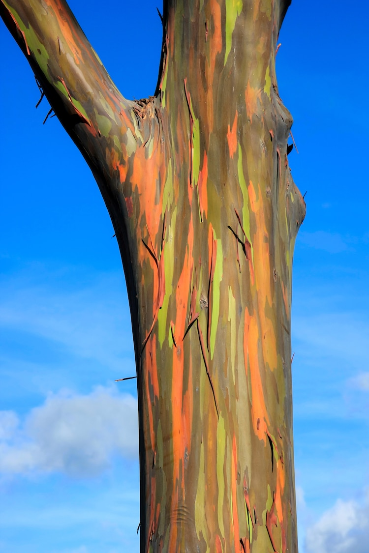 Rainbow Eucalyptus Tree